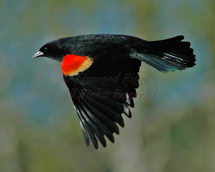A Red Winged Blackbird, photographed in the Pine Tree State Arboretum, Augusta, Maine.