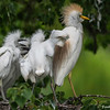 DSC_0026 Egret