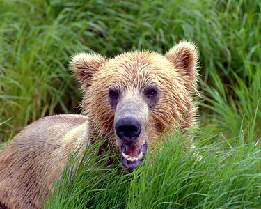 Brown Bear Roars