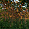 Sunset light on trees, at the forest preserve trails south of 75th street
