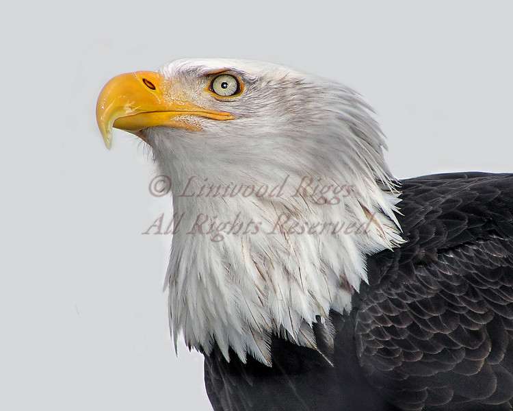 Bald Eagle © Ryan Riggs