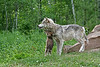 Wolf with baby, northern MN