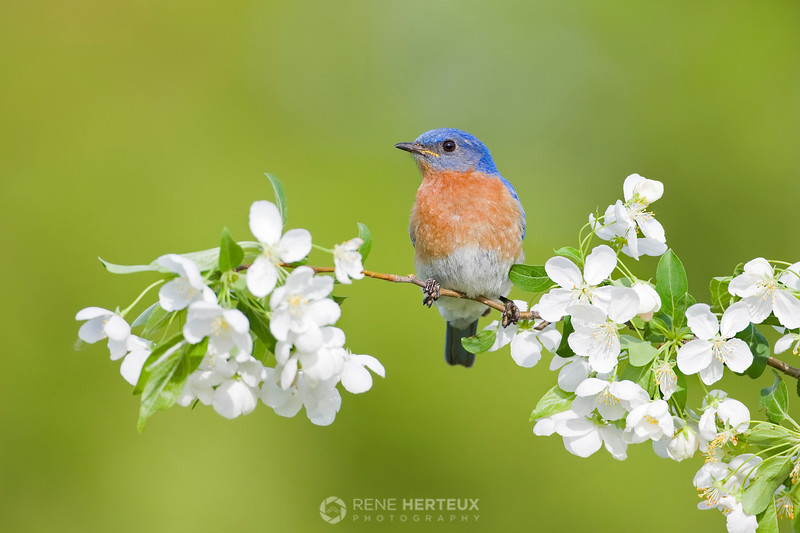 Bluebird on blossoms (male)