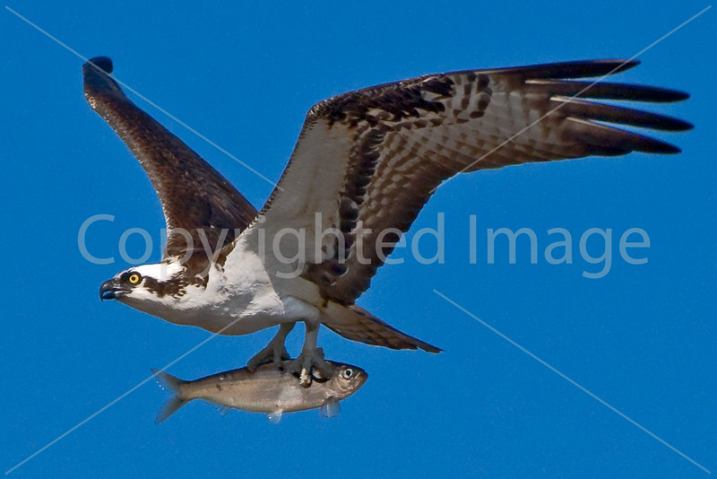A rare sight: An osprey carrying a fish backwards! They almost invariably turn them around and carry them headfirst. (Presumably because they're mode streamlined that way).