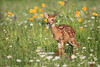 Fawn in wildflowers