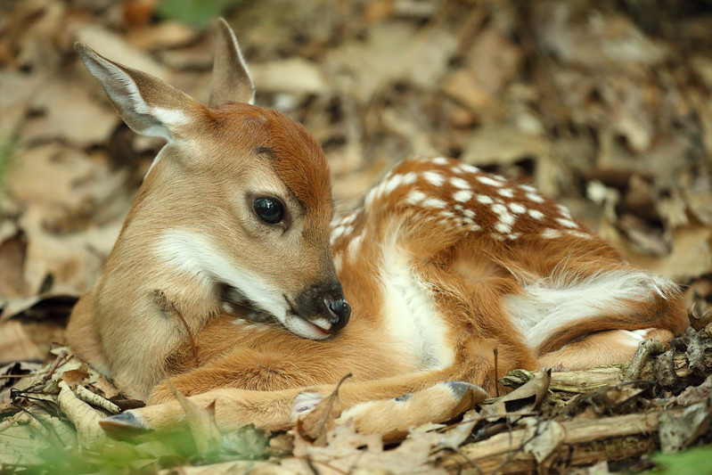 Canon 200-400mm f/4L IS Lens and the 1-Day-Old White-tailed Deer Fawn