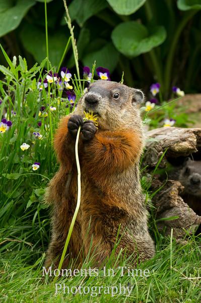 Marmot (Marmota monax)