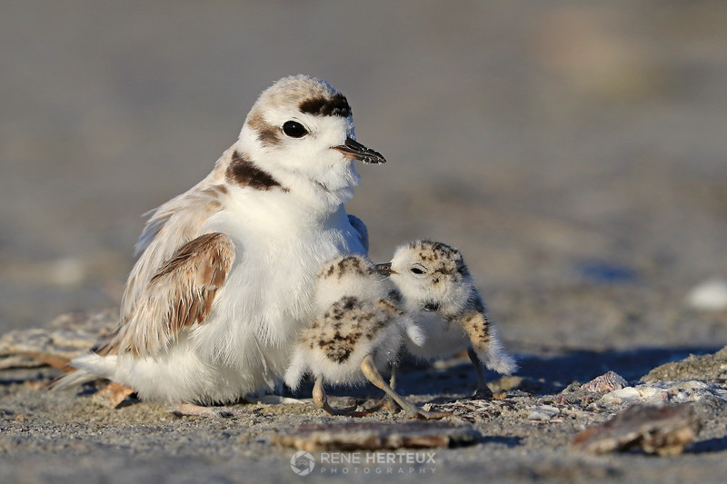 Snowy plover with chicks