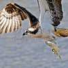 Osprey with catch at Popham Beach. Maine.