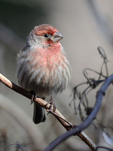 House Finch puffed up and basking in the early morning sun of a cold January morning. Raleigh, NC, January 2013