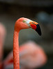 Dew the Pink Flamingo