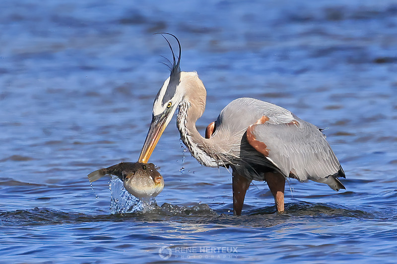 Great blue heron with puffer fish