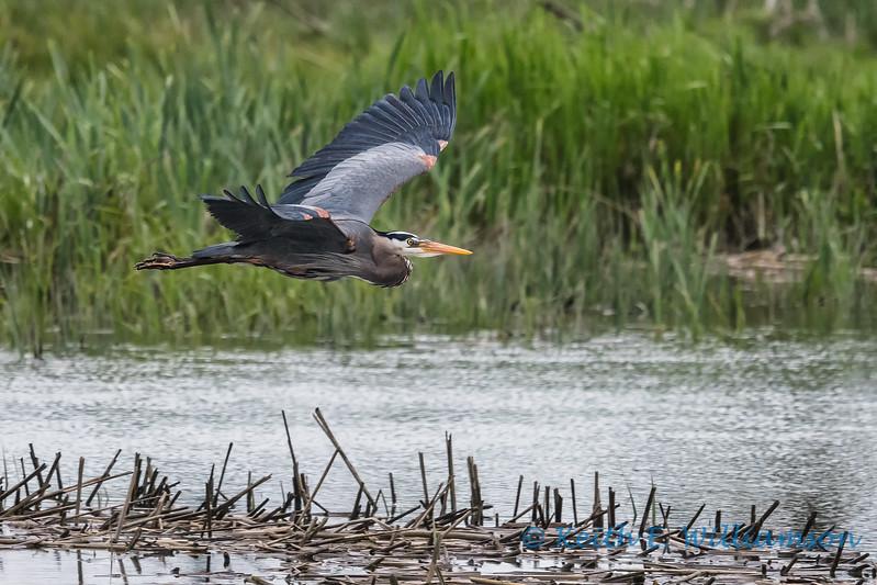 Great Blue Heron, Fir Island - 1