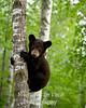 Bear cub climbing birch