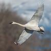 Trumpeter Swan - 4