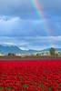 Rainbow over tulip fields