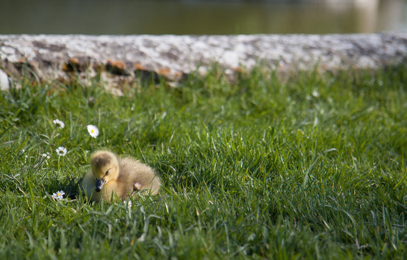 A really cute gosling