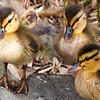Furry Duckings