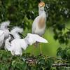 DSC_0043 Egret
