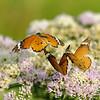 zwei Afrikanische Monarchfalter fliegen über einer Blüte, (Danaus chrysippus aegyptius), Ithala Game Reserve, KwaZulu-Natal, Südafrika, [en] African Monarch butterflies, Ithala Game Reserve, South Africa