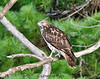 A Red Tailed Hawk waits for prey at Jamie's Pond in Hallowell, Maine.