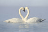 Trumpeter swan love