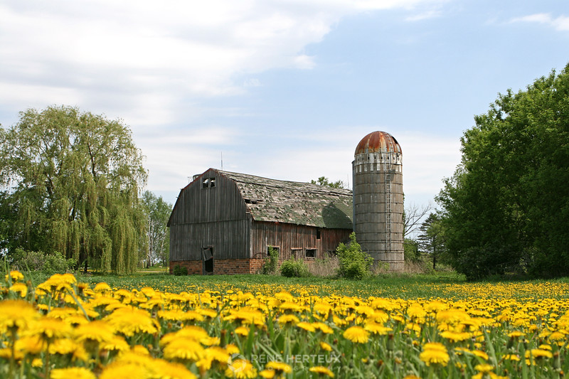 Old barn with dandelions, Hutchinson MN
