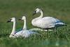 Trumpeter Swans, Camano Island