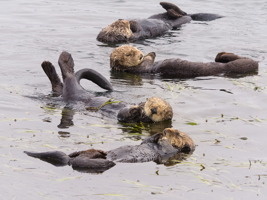 Rafting Otters in Morro Bay