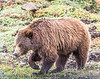 "A ferocious Grizzly bear in Denali National Park searches for tourists from the Lower 48 to attack and eat.  (There's a REASON the scientific name is ""Ursus Horribilus"").  But I wasn't afraid!"