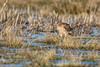 Northern Harrier - 6