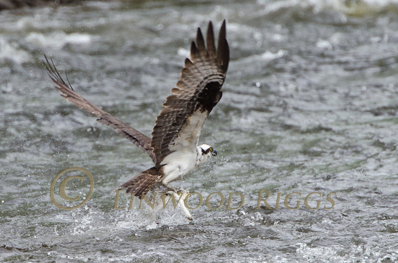 Osprey with three fish, Gardiner, Maine