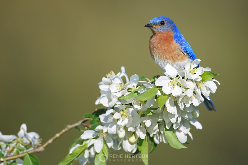 Bluebird on crab apple blossoms, MN