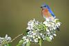 Bluebird on crab apple blossoms, MN