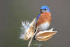 Male bluebird on milkweed