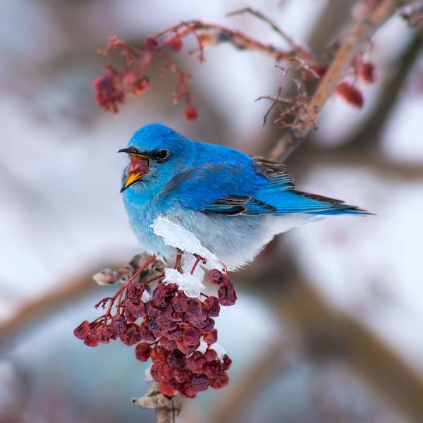 Blue Berry Blizzard