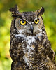 Rescued Great Horned Owl - flightless due to injury