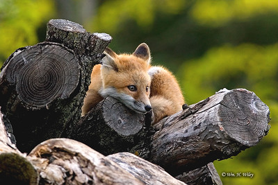 Forlorn Fox