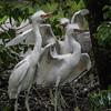 DSC_0895 Egrets