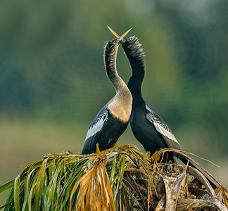 Courting Anhingas