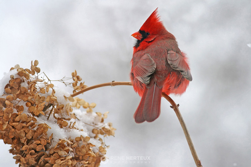 Male northern cardinal in the snow, Shakopee MN