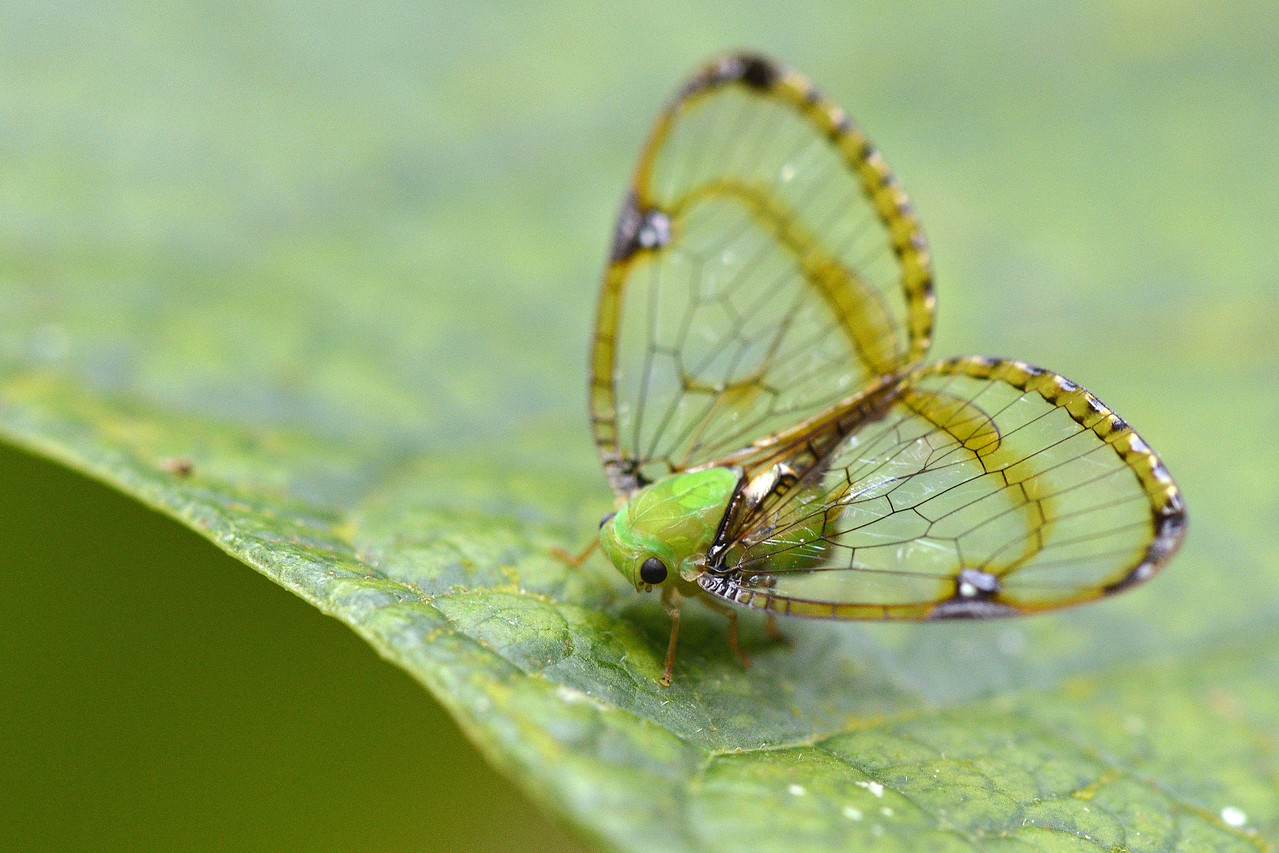 Plant Hopper ( I think )...but beautiful wings....!
