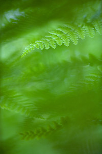 Fern leaves, Massachusetts