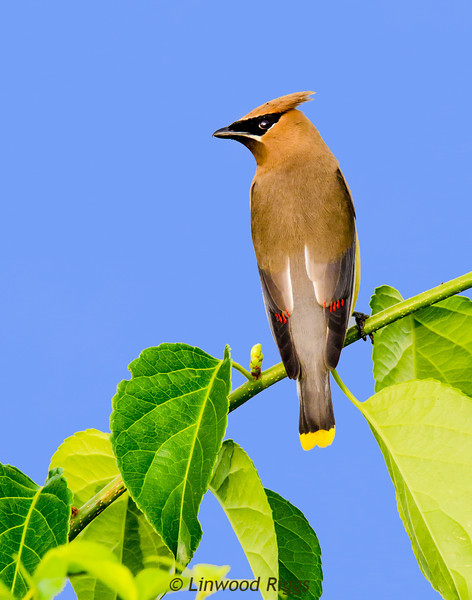 This Cedar Waxwing perches on a branch overlooking the Kennebec River in Augusta, Maine.
