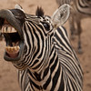 This silly zebra has learned that when he makes this face, people toss food biscuits in his mouth.  I happily complied with several biscuits.  This seems to show he has people trained better they have trained him.