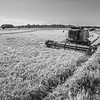 Rice Harvest in the Delta (BW)