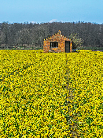 Fields of Daffodils