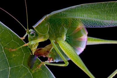 Female of fork-tailed katydid (Scudderia furcata) laying eggs in a leaf, Massachusetts