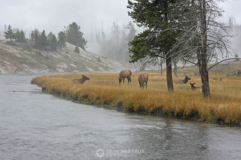 Elk in snowstorm with background thermals