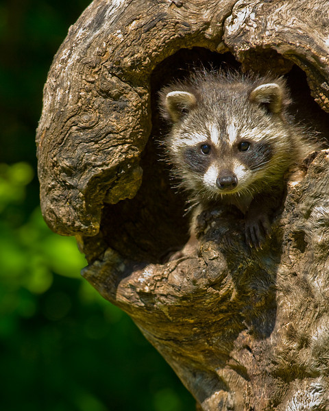 A young raccoon in an opening in a log